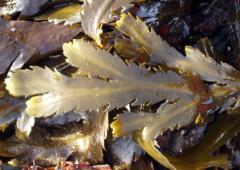 Observons les algues bretonnes - Arzon / Golfe du Morbihan 56-14