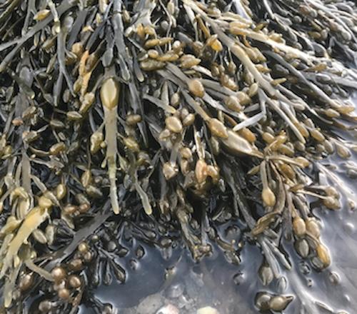 Observons les algues bretonnes - Arzon / Golfe du Morbihan 56