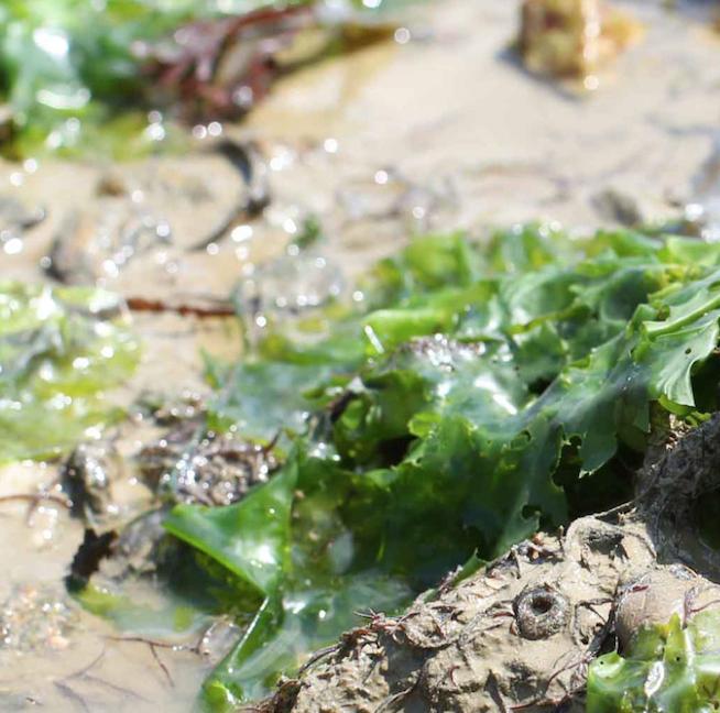 """SORTIE NATURE """"Découverte des fleurs du littoral & des algues"""""""