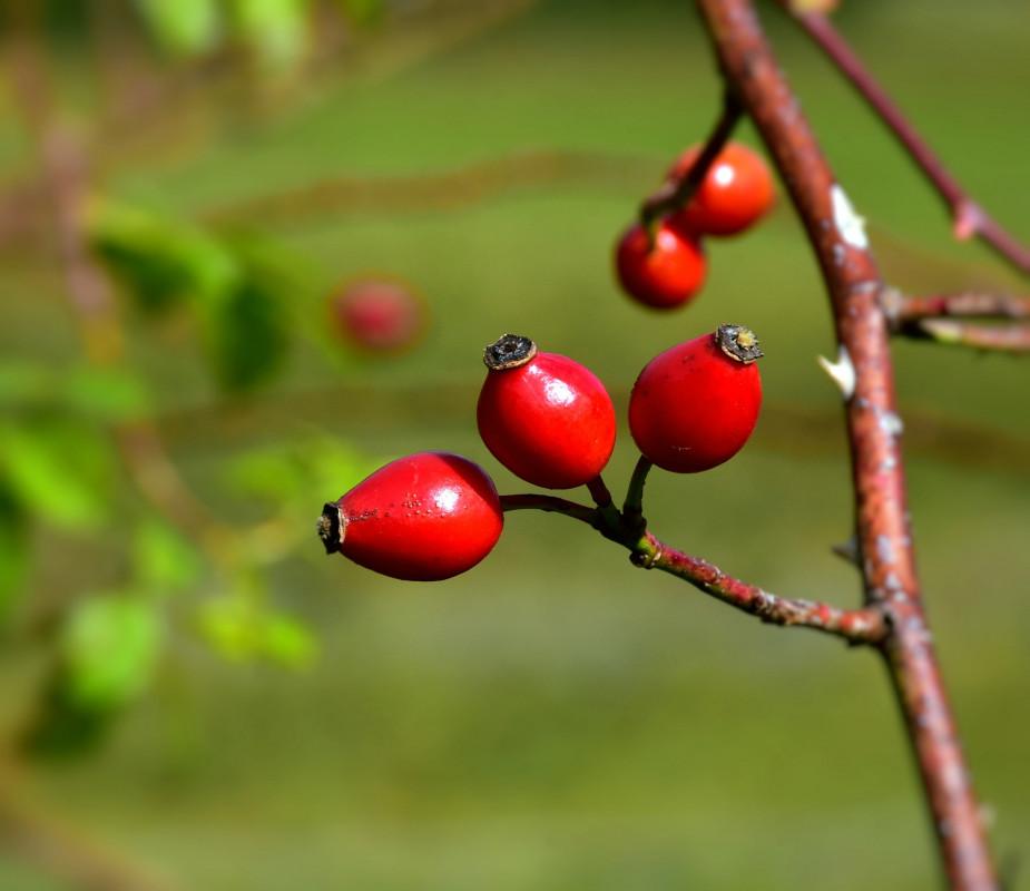 """SORTIE BOTANIQUE  """"Plantes médicinales d'automne"""" - Arzon / Golfe du Morbihan (56) - NOVEMBRE A DECEMBRE 2021"""